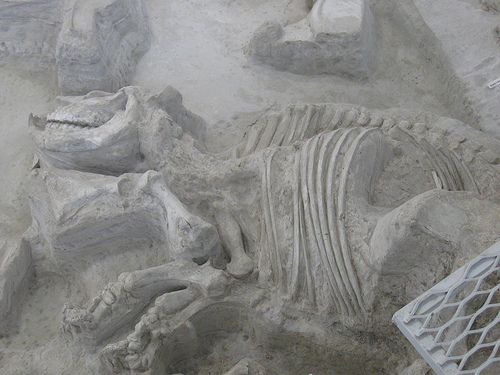 Fossil under excavation at Ashfall