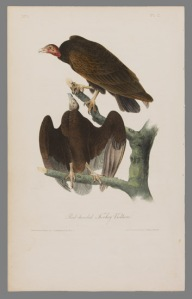 Red-headed Turkey Vultures, by John James Audubon