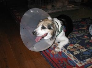 """Belle the beagle: not """"bon pour manger"""""""