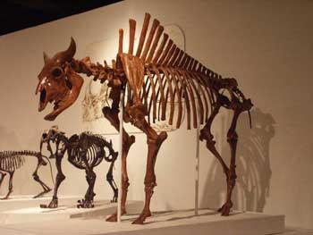 A bison skeleton