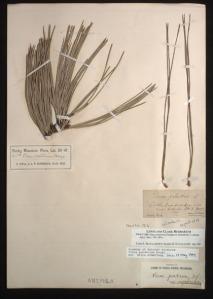Lewis's original specimen, ponderosa pine
