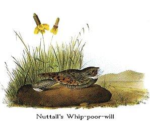 Nuttall's Poorwill