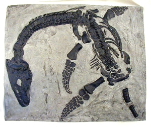 juvenile plesiosaur skeleton