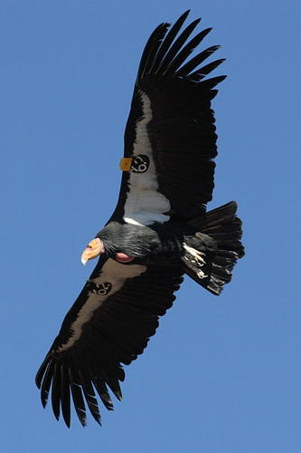 California condor in flight