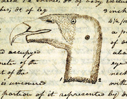 "Lewis's drawing of the ""vulture of the Columbia"""