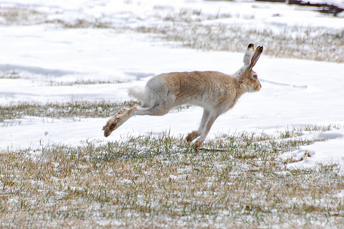 White-tailed jackrabbit running away