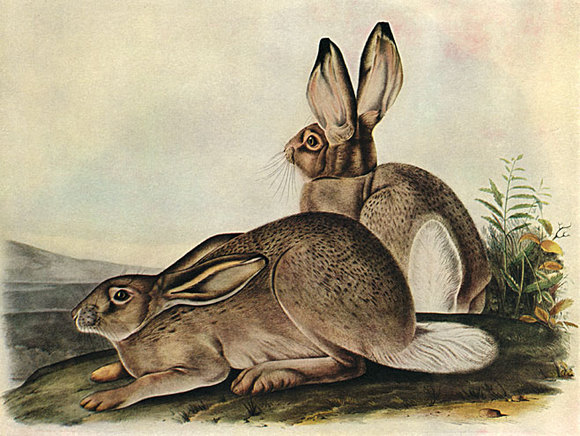 """Mink Coat Value >> No Ordinary Rabbit: Lewis and Clark Meet """"White-Tailed ..."""