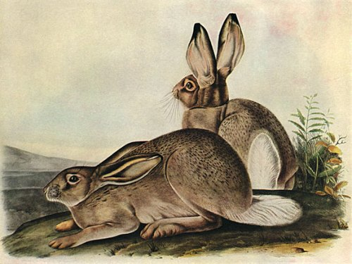 The White-Tailed Jackrabbit by John James Audubon