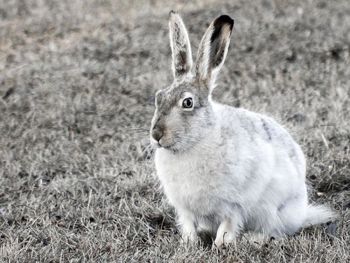 A white-tailed jackrabbit changing to its winter coat