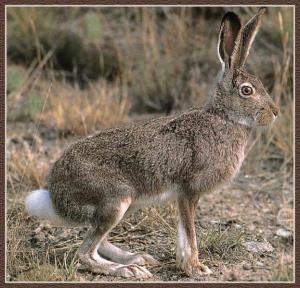 The White-Tailed Jackrabbit