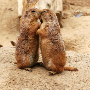 Prairie dogs sharing a smooch