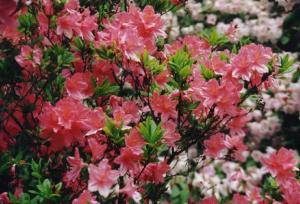 Rhododendrons, introduced to America by Andre Michaux