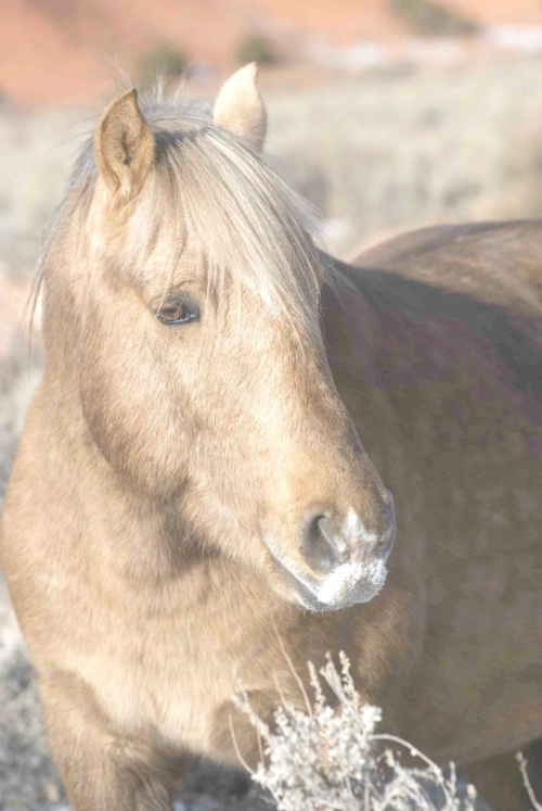 Wild horse of the Pryor Mountains herd