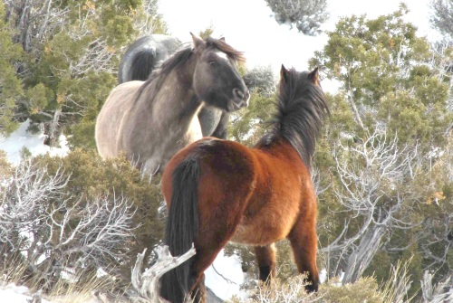 Wild horses of the Pryor Mountains herd