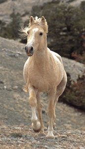 Cloud the wild horse