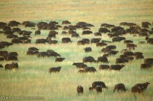 Buffalo grazing on the plain