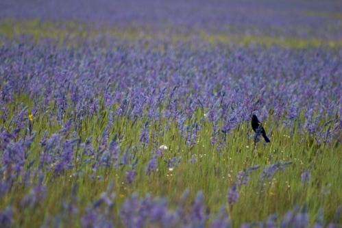 Blackbird in a field of blue camas