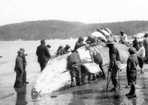 Makah Indians cutting up a whale, 1910